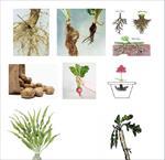 دانلود-طرح-جابر-ریشه-گیاهان
